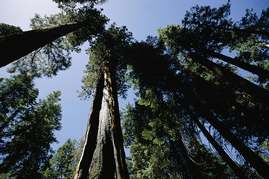 Sequoiadendron Giganteum Photograph - View Looking Up The Trunks Of Giant by Phil Schermeister