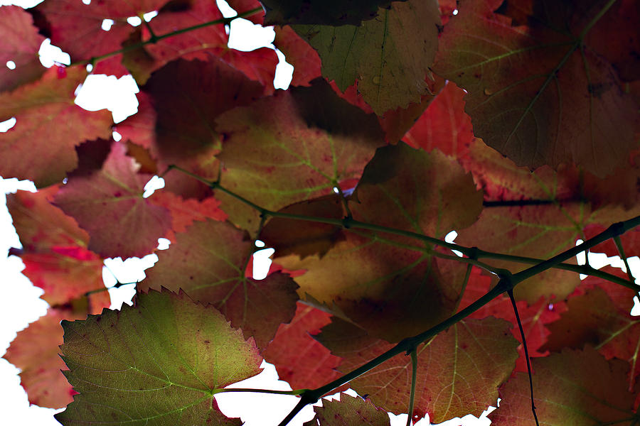 Vine Leaves Photograph - Vine Leaves by Douglas Barnard
