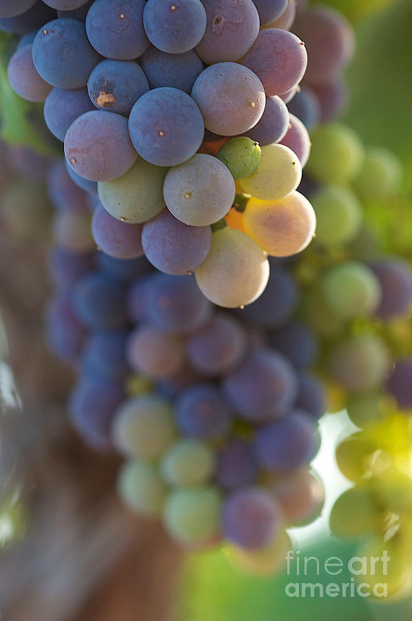 Red Grapes Photograph - Vine Ripe One by Brooke Roby