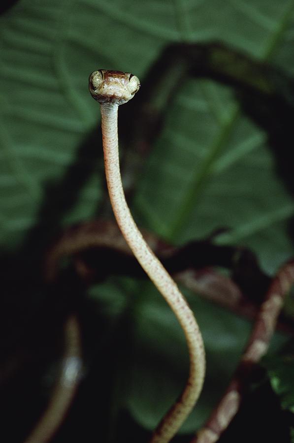 Vine Snake Portrait, La Selva, Costa Photograph by Mark Moffett