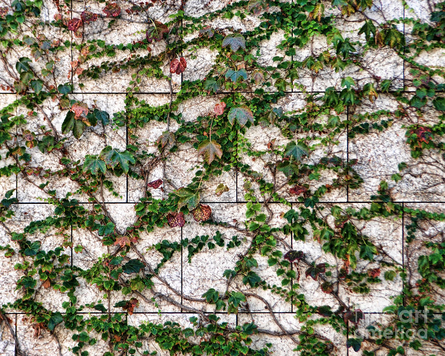 vines on marble wall photograph by norma warden. Black Bedroom Furniture Sets. Home Design Ideas