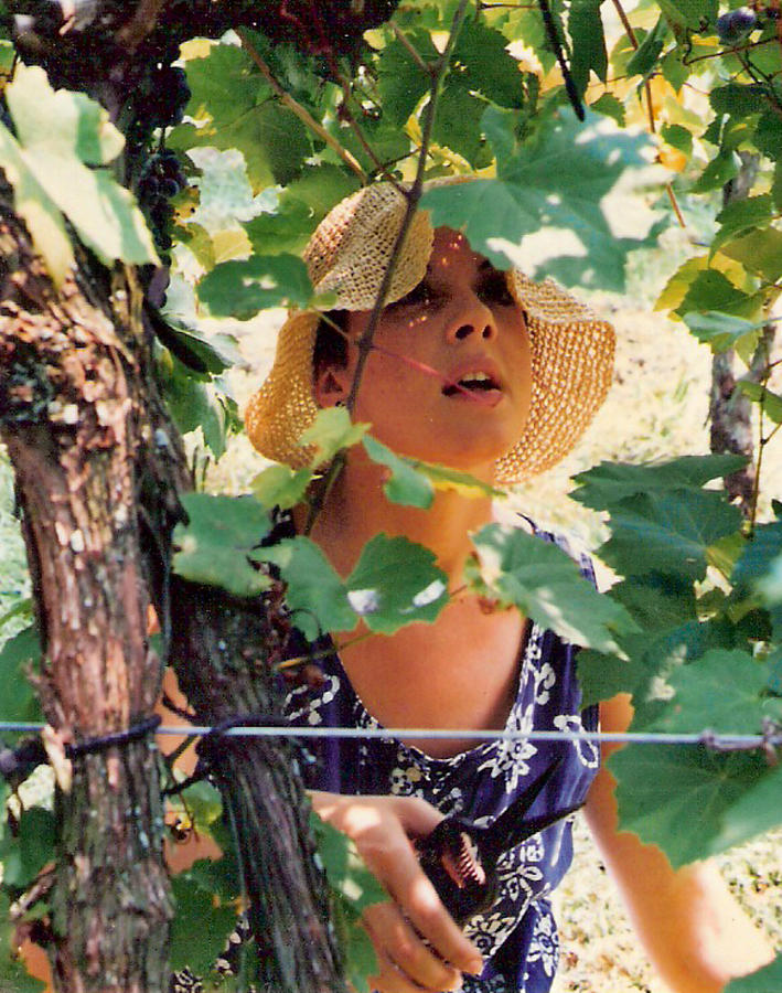 Harvest Photograph - Vineyard Harvest by Padre Art