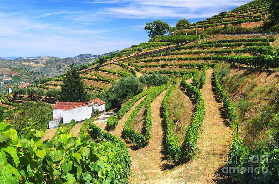 Agriculture Photograph - Vineyard Landscape by Carlos Caetano