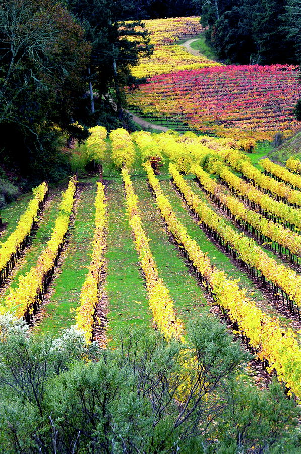 Vineyard Photograph - Vineyard Sonoma 7 by Anthony George