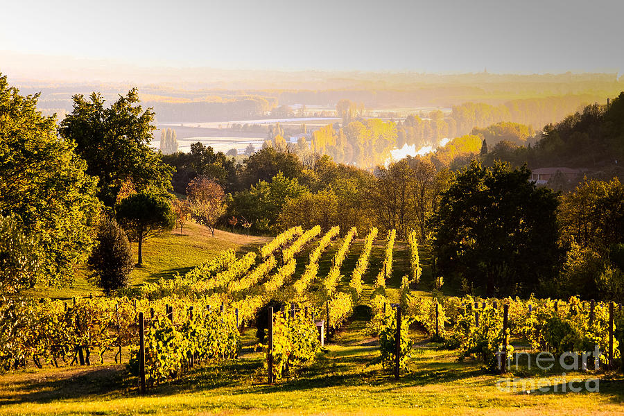 Agriculture Photograph - Vineyard by Voisin and Phanie and Photo Researchers