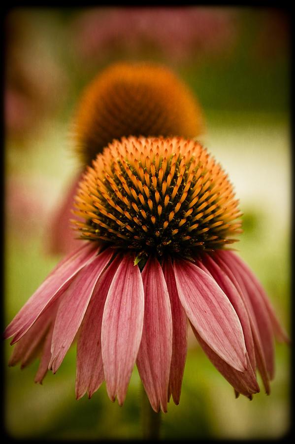 Flower Photograph - Vintage Flower by Jen Morrison
