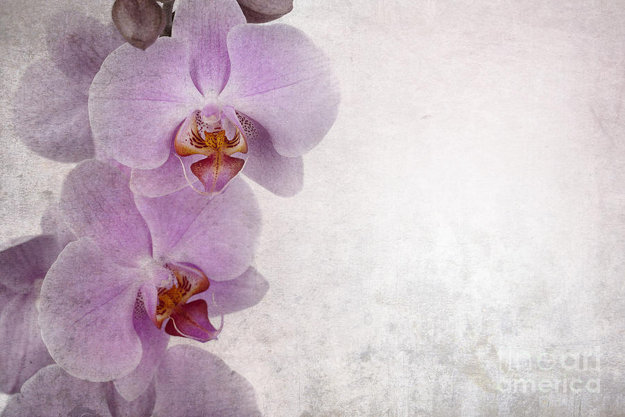 Aged Photograph - Vintage Orchids by Jane Rix