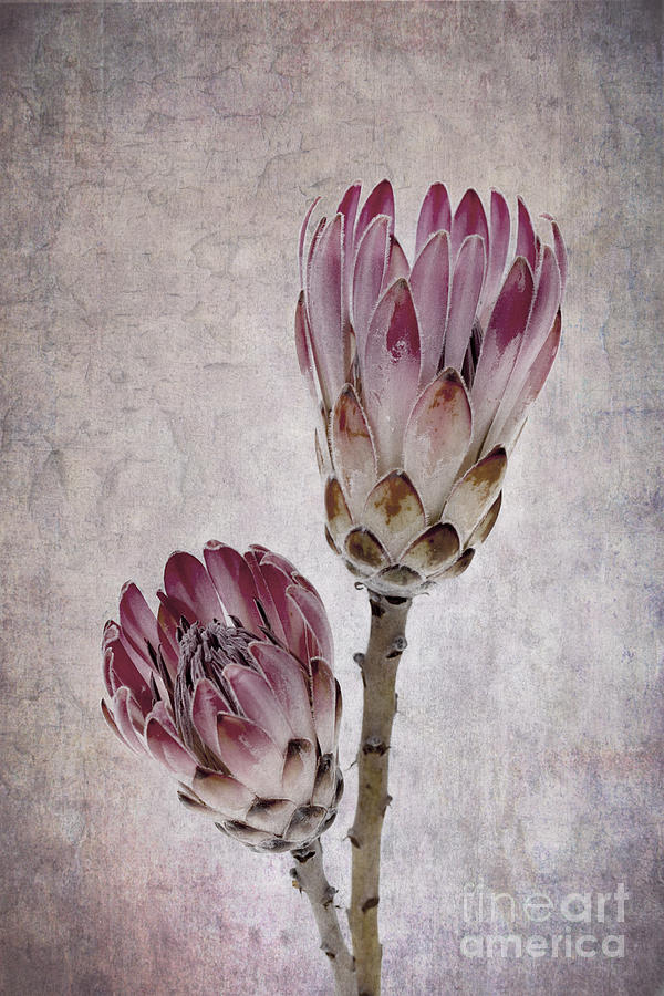 Vintage Proteas Photograph By Jane Rix
