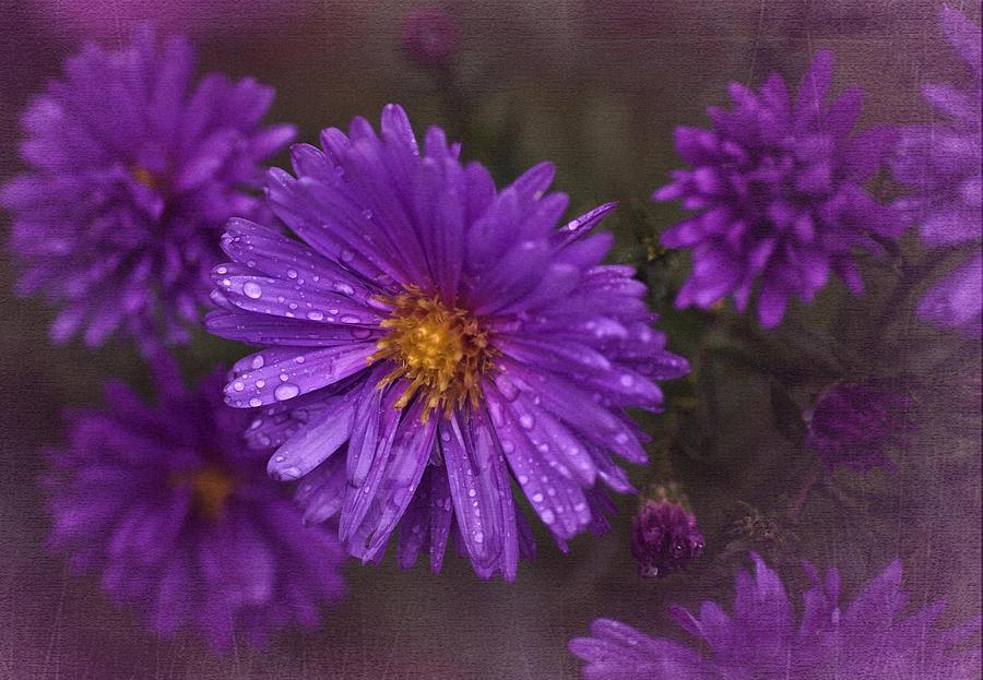 Asters Photograph - Vintage Purple  by Richard Cummings