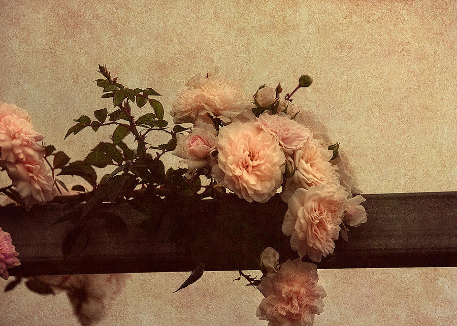 Vintage Roses Photograph - Vintage Roses by Georgiana Romanovna