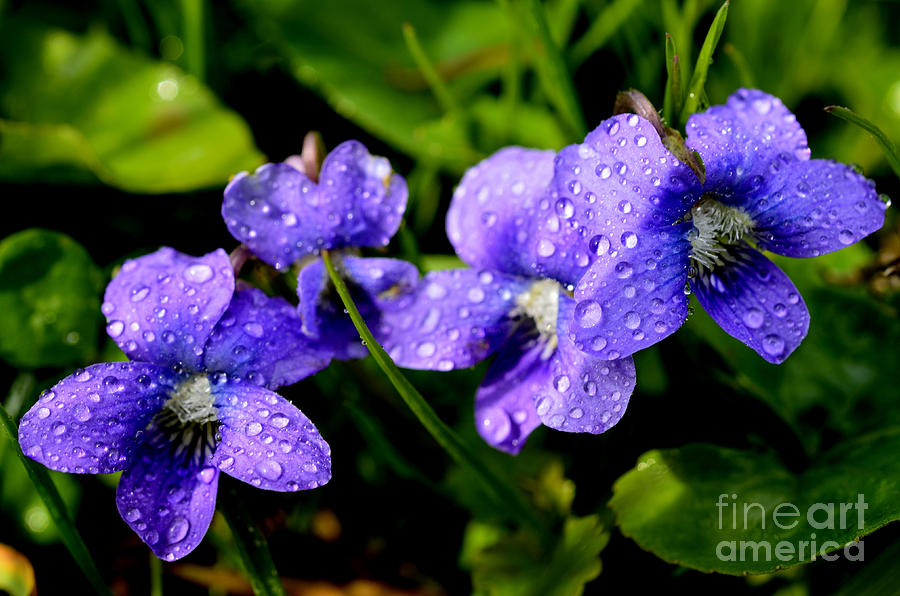 Common Blue Violet Photograph - Violet And Raindrops by Thomas R Fletcher