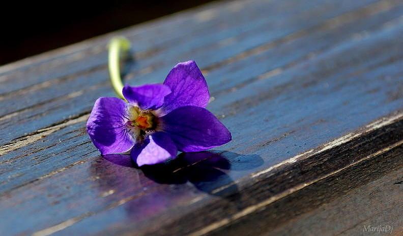 Flowers Photograph - Violet by Marija Djedovic