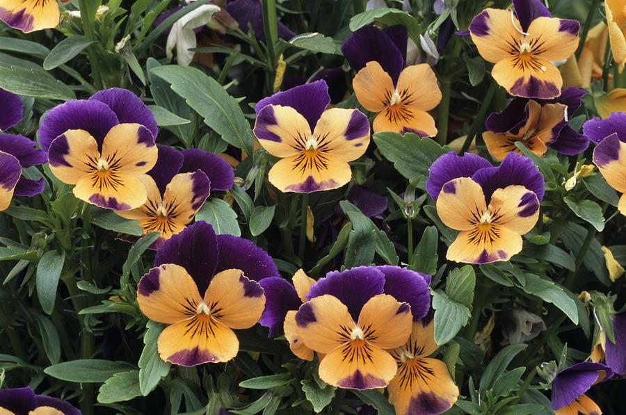 Viola Cornuta Photograph - Violets by Archie Young