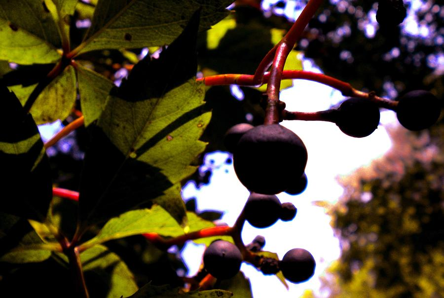Berries Photograph - Virginia Creeper Fruit by Renate Nadi Wesley
