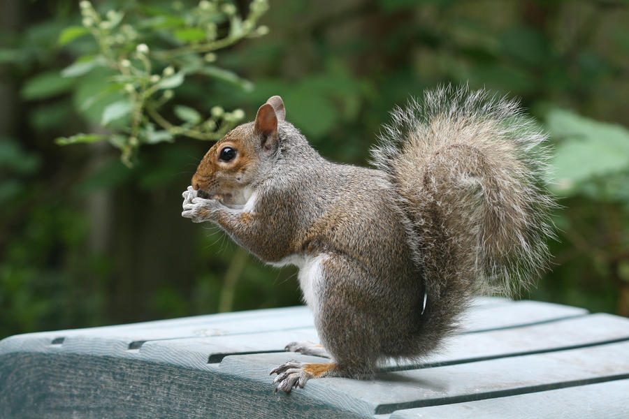 Squirrel Photograph - Visiting Squirrel Luncheon by Bonnie Boden