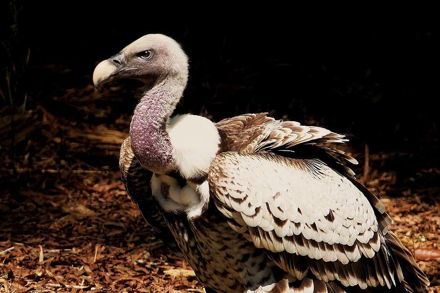Vulture Photograph - Vulture by Paulette Thomas