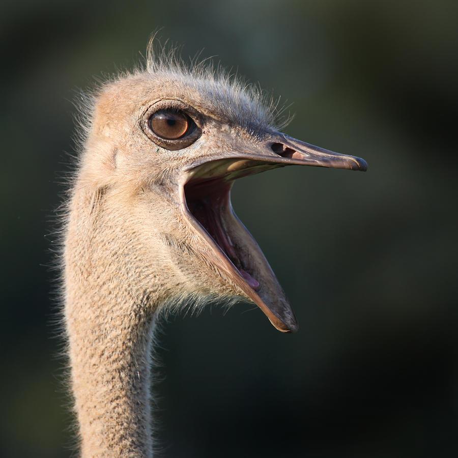 Ostrich Photograph - W H A T  by Joseph G Holland
