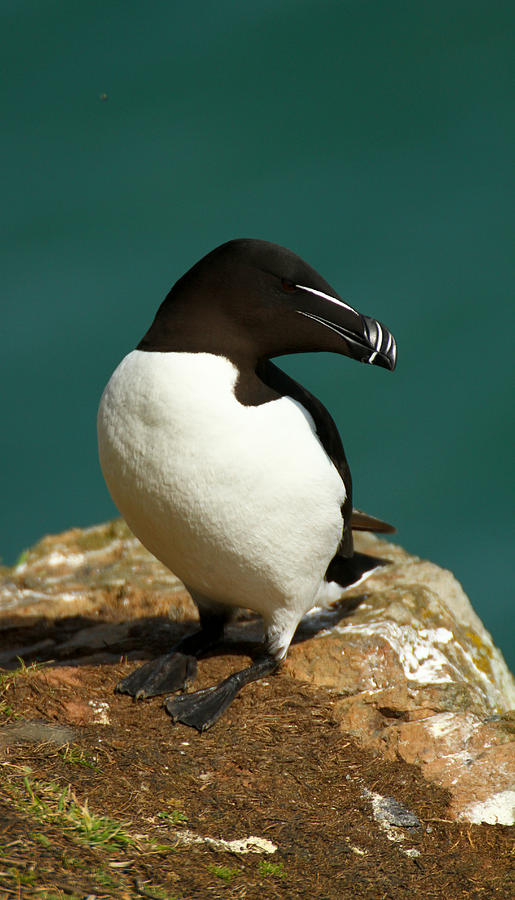 Razorbill Photograph - Waiting For Love II by Jacqui Collett