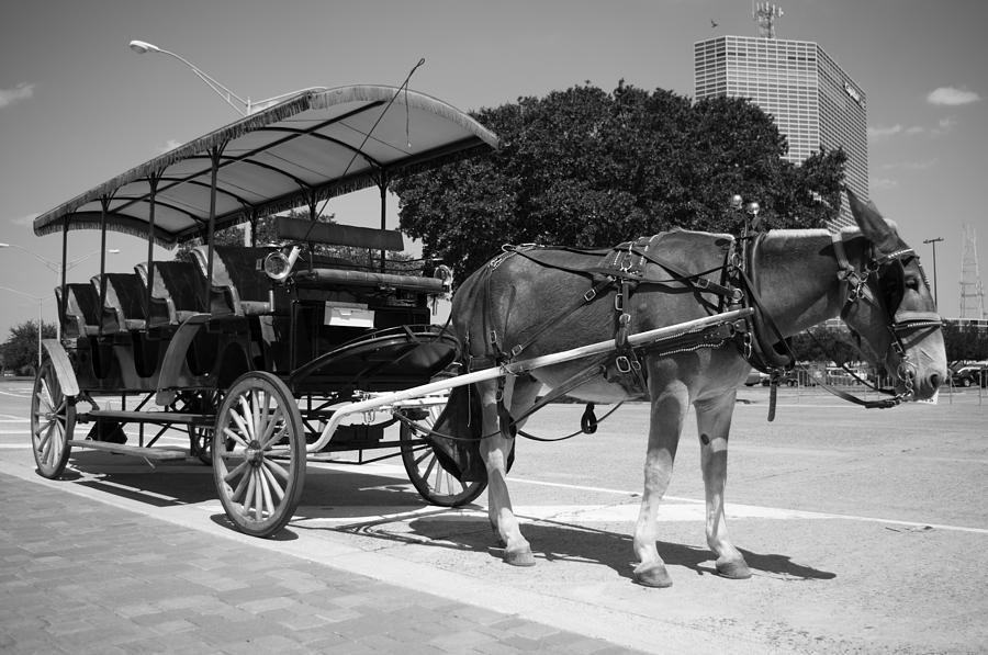 Mule Photograph - Waiting Mule by Irvin Louque