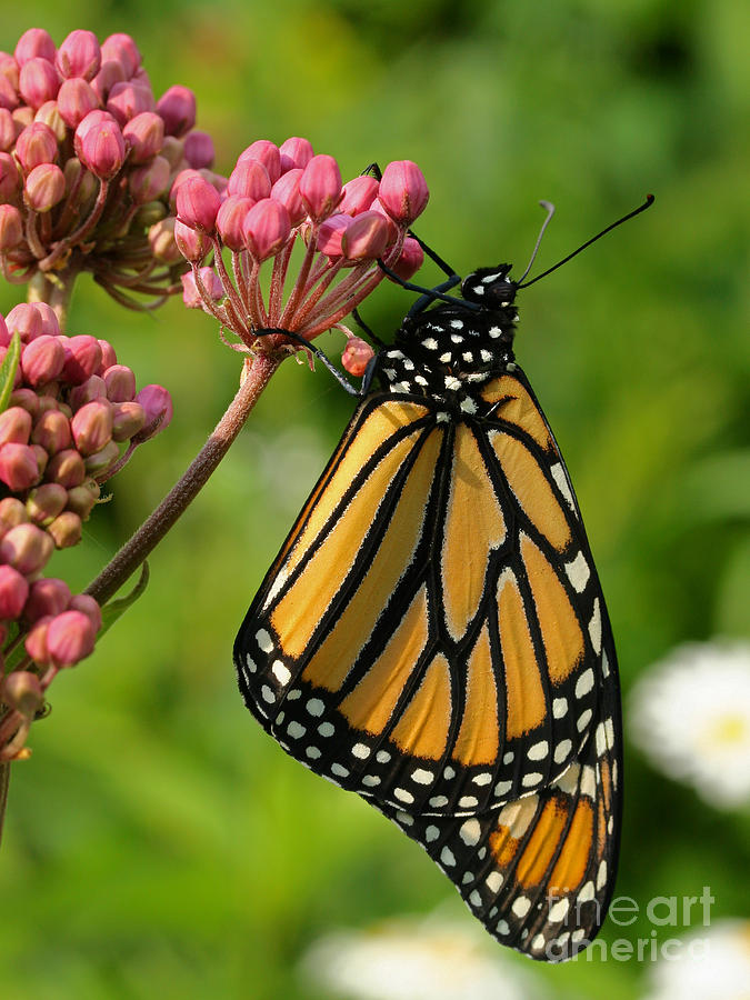 Monarch Photograph - Waiting To Flower by Steve Augustin