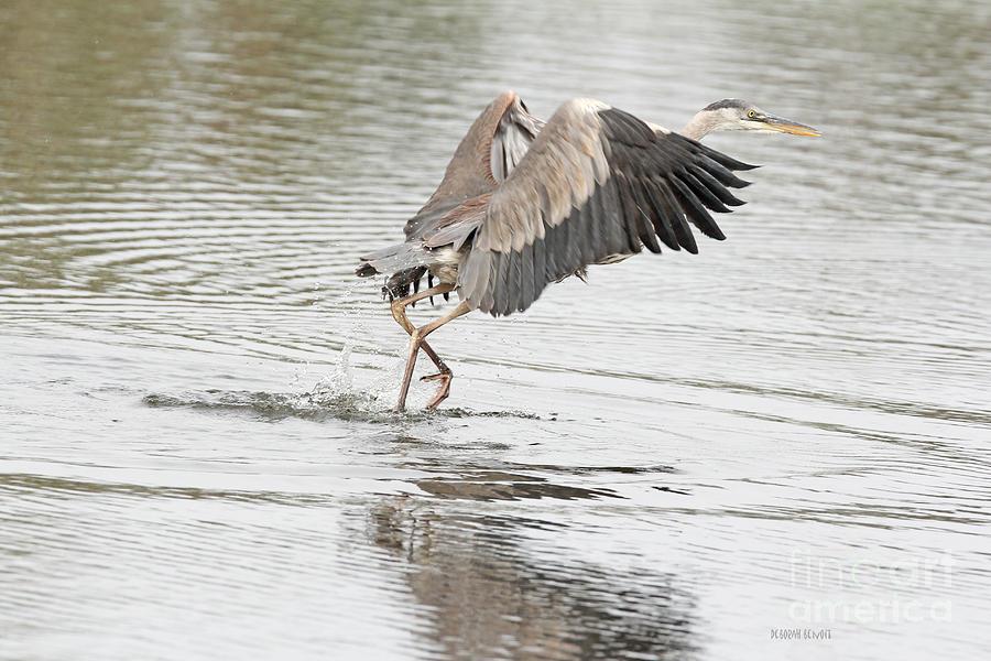 Heron Photograph - Walking On Water by Deborah Benoit