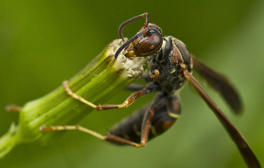 Wasp Photograph - Wasp Eating by Dean Bennett