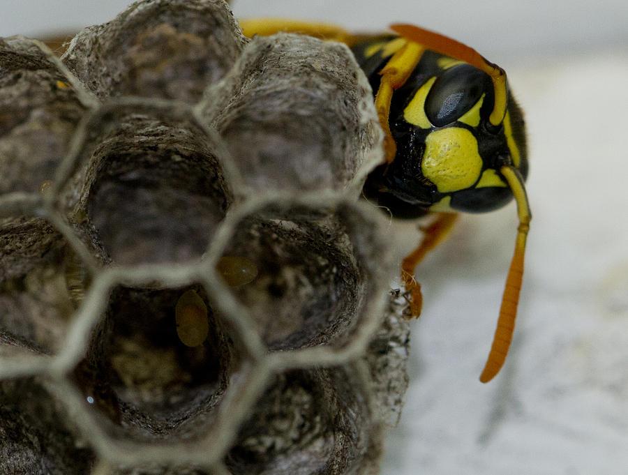 Wasp Photograph - Wasp Nest by Dean Bennett