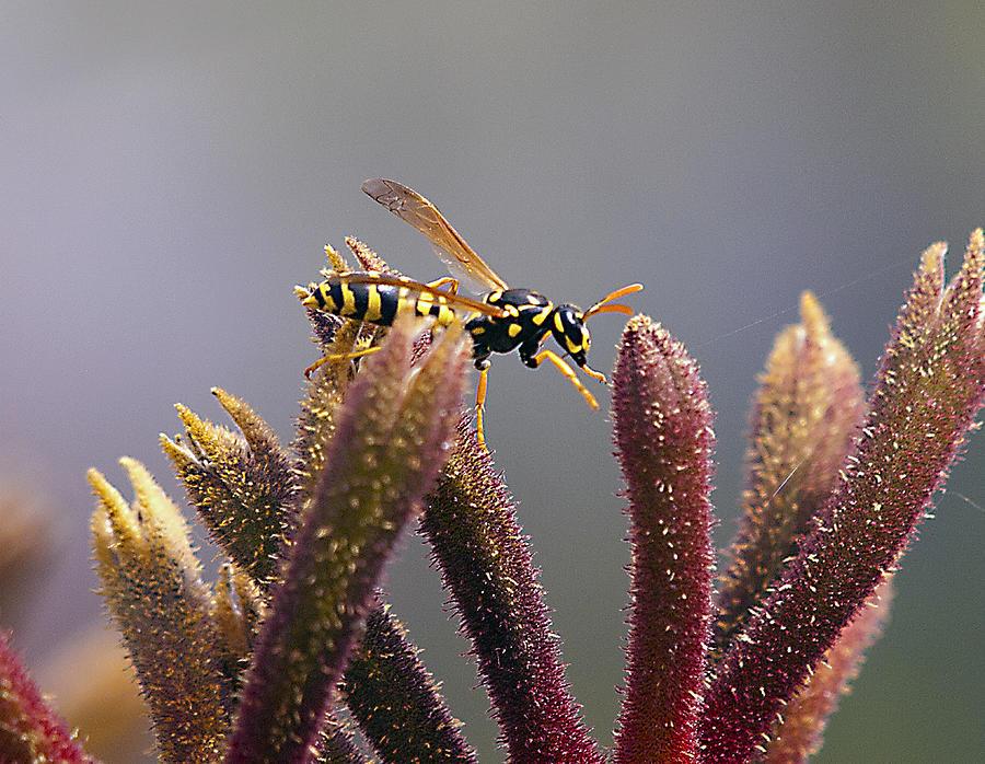 Wasps Photograph - Waspage In The Kangaroo Paw by Joe Schofield
