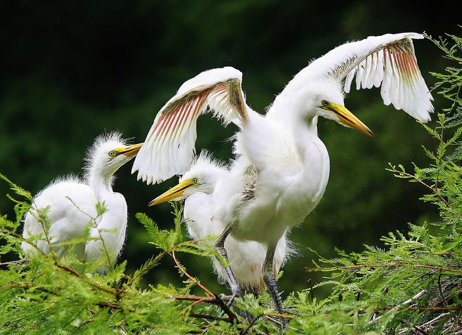Egrets Photograph - Watch And Learn by Paulette Thomas