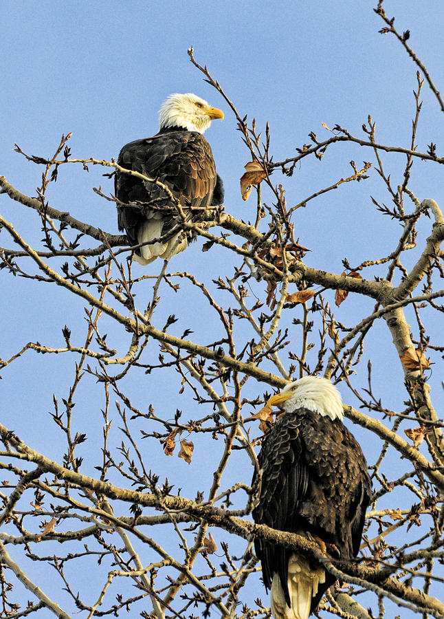 Bald Eagle Photograph - Watchers by Lawrence Christopher
