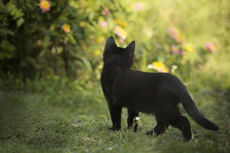 Black Cat Photograph - Watching Butterflies by Kim Henderson