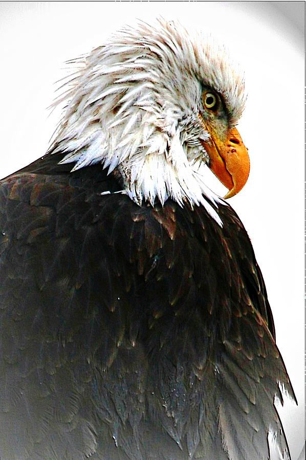 Bald Eagles Digital Art - Watching Over You by Carrie OBrien Sibley