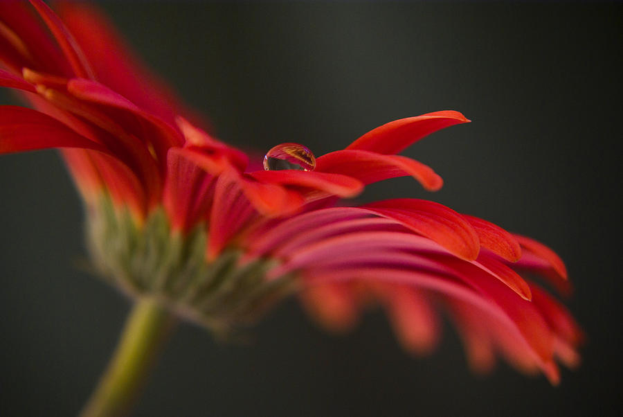 Red Daisy Photograph - Water Drop On A Red Gerbera Flower by Pixie Copley