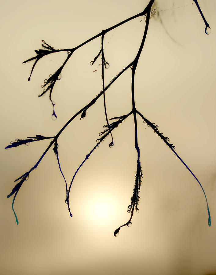 Branches Photograph - Water Droplets by Jim Painter