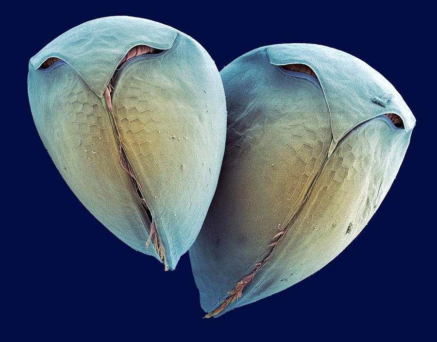 Water Flea Photograph - Water Fleas, Sem by Steve Gschmeissner