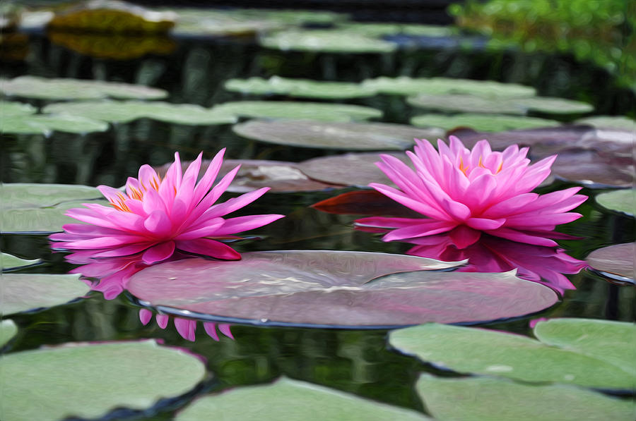 Water Lilies Photograph - Water Lilies by Bill Cannon