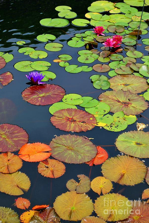 Garden Photograph - Water Lilies I by Nancy Mueller