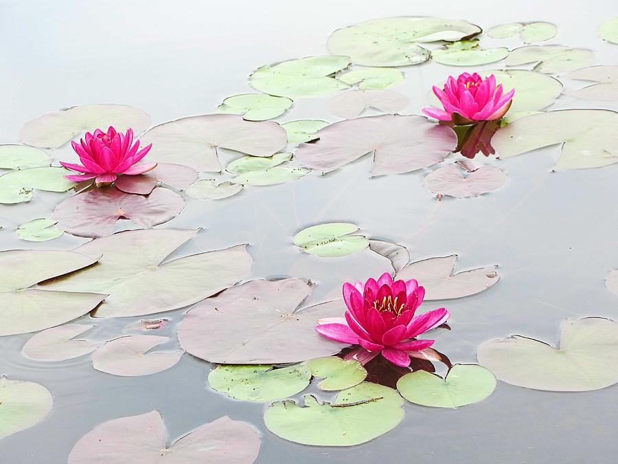 Flowers Photograph - Water Lilies In The Morning by Michael Taggart