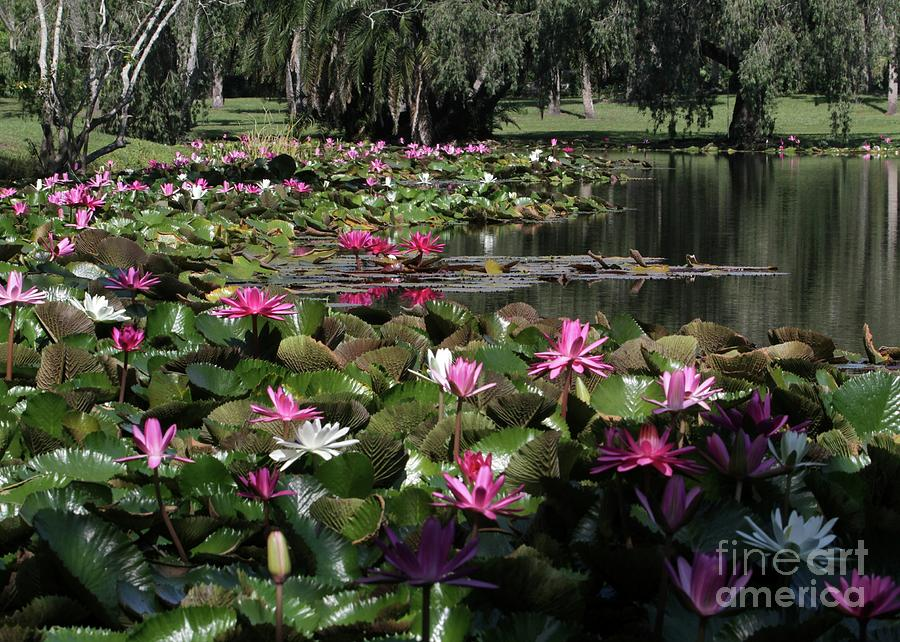 Garden Photograph - Water Lilies In The St. Lucie River by Sabrina L Ryan