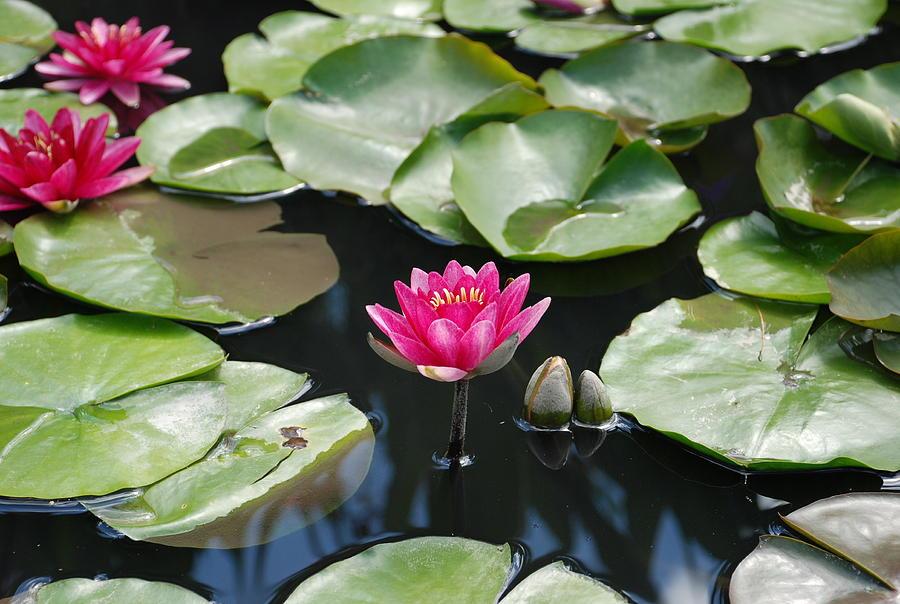 Water Lilies Photograph - Water Lilies by Jennifer Ancker