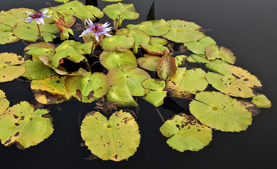 Flower Photograph - Water Lillies And Pads by Forest Alan Lee