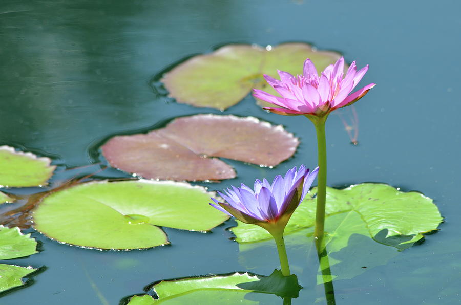 Water Lilly Photograph - Water Lillies Of A Different Color by Kathy Gibbons
