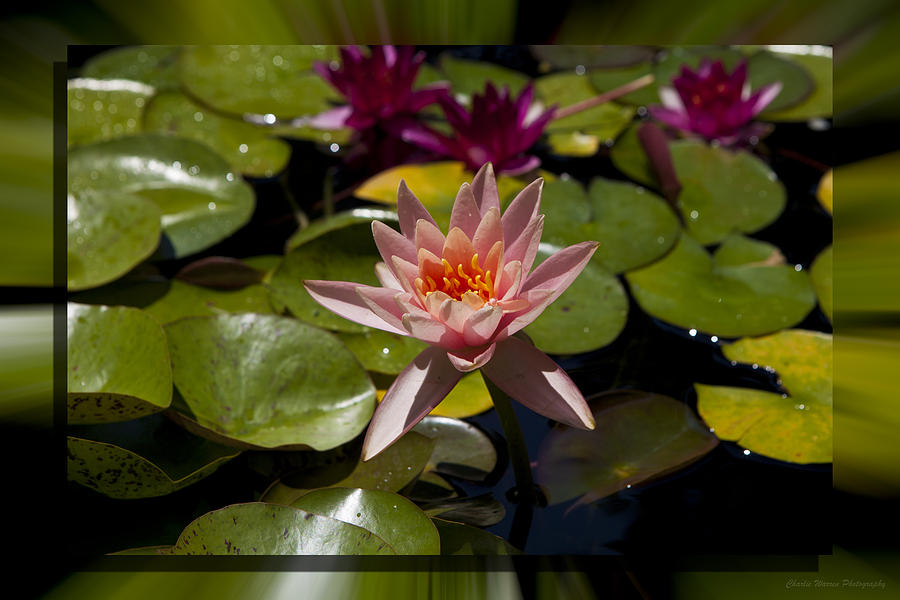 Water Lilly Photograph - Water Lilly 6 by Charles Warren