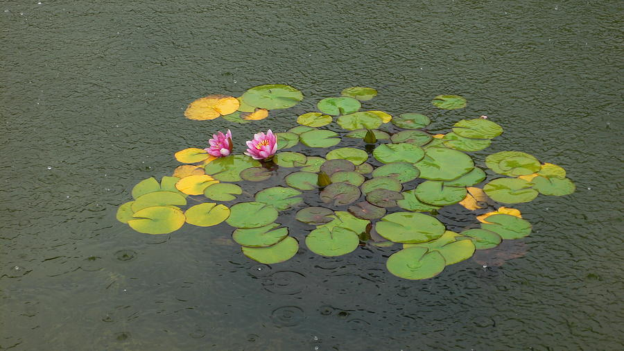 Flowers Photograph - Water Lilly In Rain -1 by Muhammad Hammad Khan