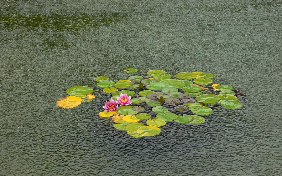 Flowers Photograph - Water Lilly In Rain -2 by Muhammad Hammad Khan