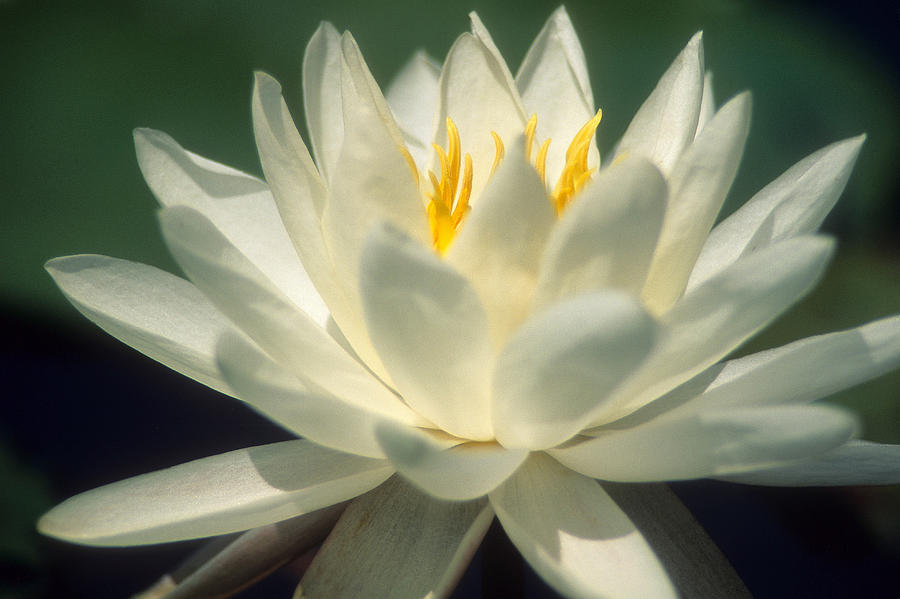 Water Lilly Photograph - Water Lilly by Lee Amerson