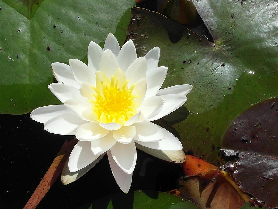 Beaufort Photograph - Water Lily 1 by Tanya Moody