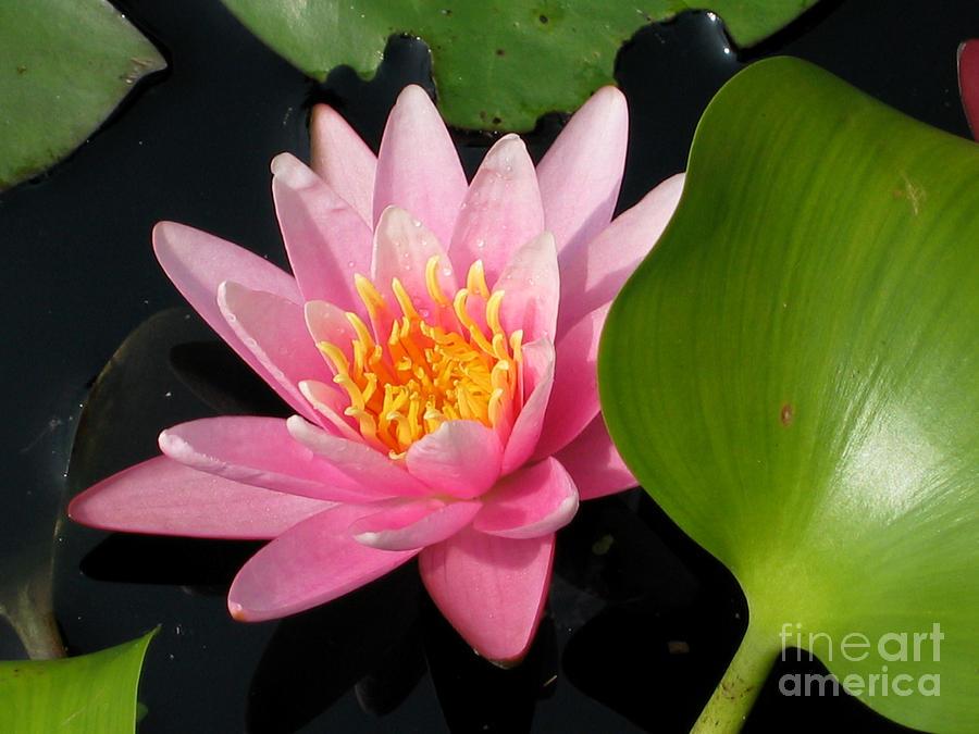 Tropical Digital Art - Water Lily 2 by Eva Kaufman