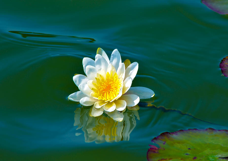 Aquatic Photograph - Water Lily 4 by Julie Palencia