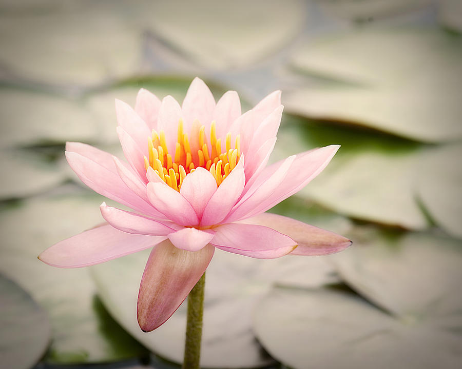 Water Lily IIi Photograph by Tammy Smith